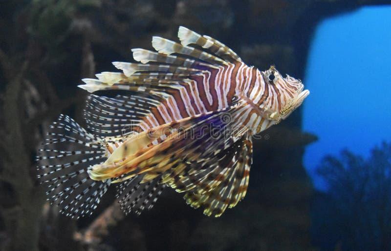 Natação fantástica do Lionfish no mar azul profundo imagens de stock royalty free