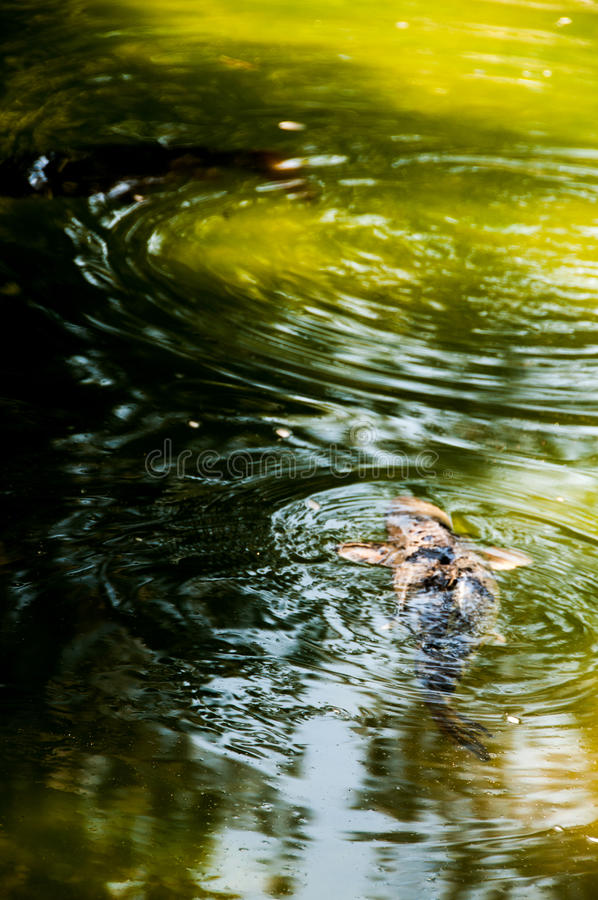 Natação Koi Fish imagem de stock royalty free