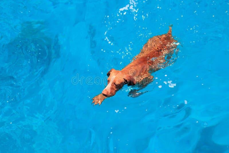 Natação marrom feliz bonito do cão na água azul Mar Vermelho Praia e mar ensolarados com paisagem das águas profundas Resto do di fotografia de stock royalty free