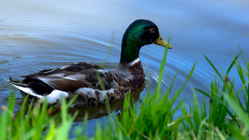 Natação masculina selvagem do pato na lagoa imagens de stock