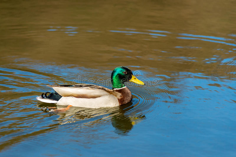 Natação nova agradável do pato do pato selvagem na mola adiantada do lago imagem de stock