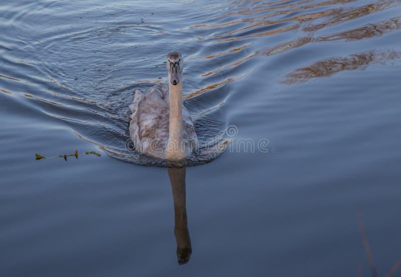 Natação nova da cisne em um lago no por do sol com luzes douradas na água fotografia de stock