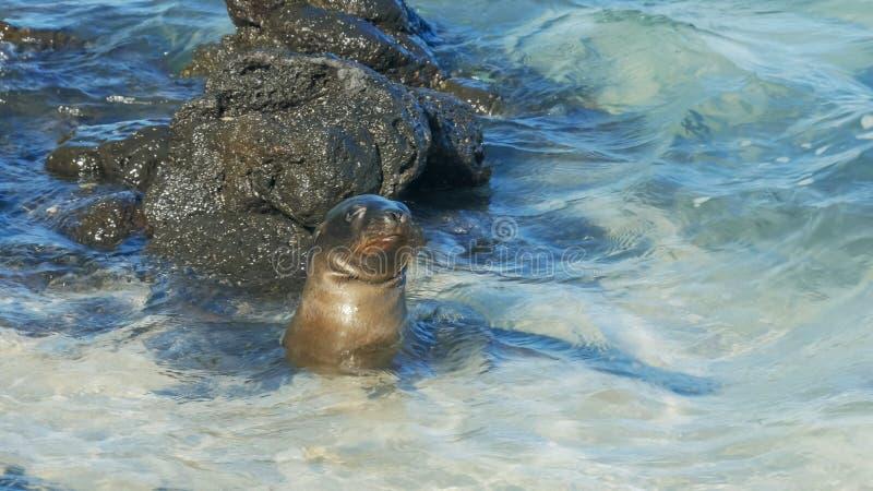 Natação nova do leão de mar na ilha sul das plazas nos Galápagos foto de stock