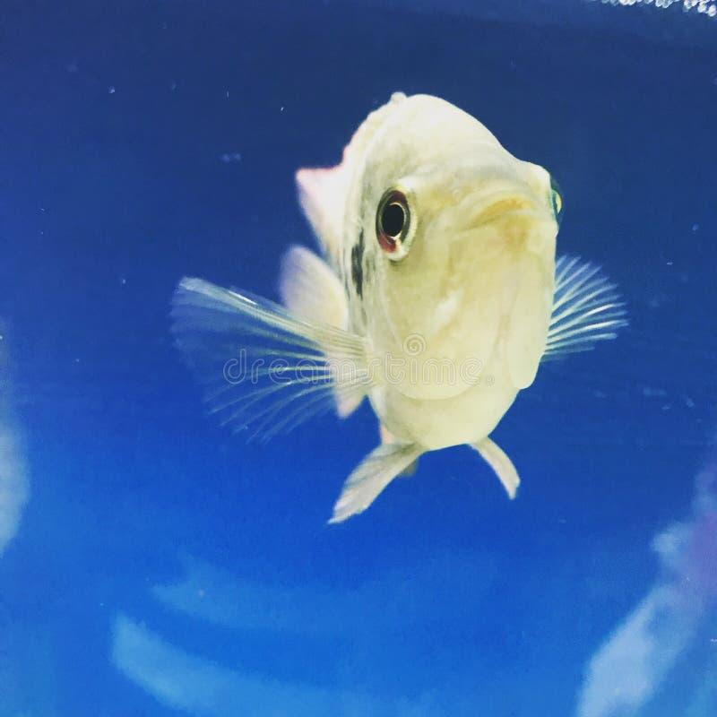 Natação pequena dos peixes no fishbowl fotografia de stock