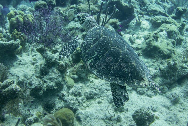 Natação subaquática da tartaruga acima do recife de corais nas Caraíbas imagem de stock