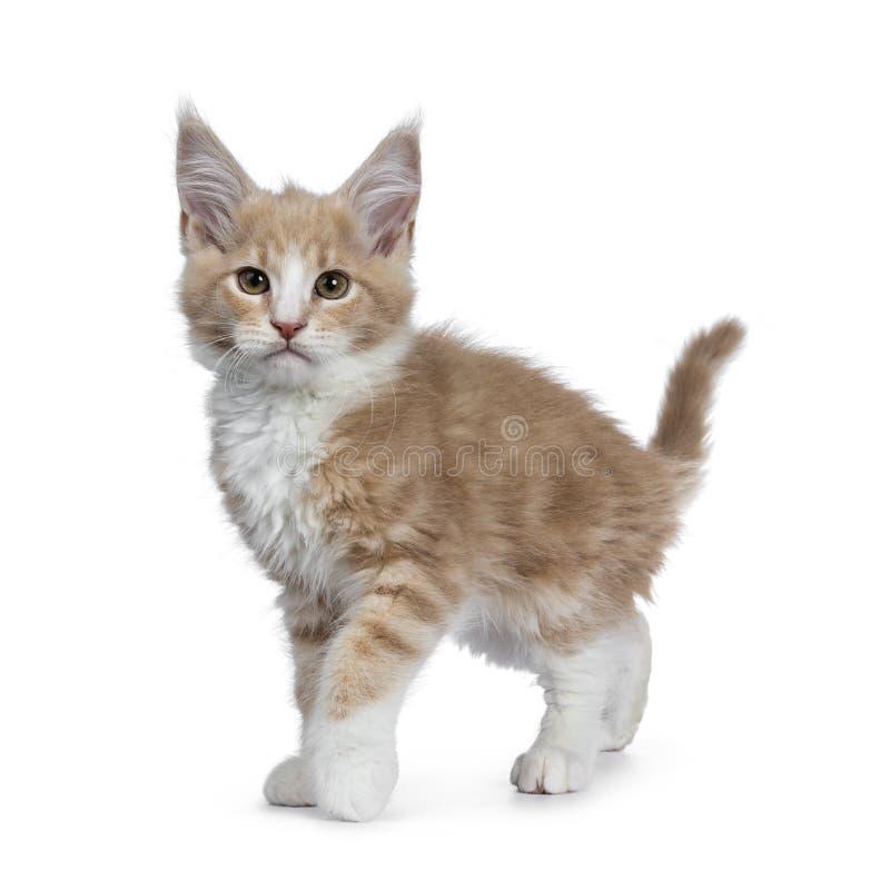 Nata bonito corajosa com o gatinho branco do gato de Maine Coon, isolado no backround branco foto de stock