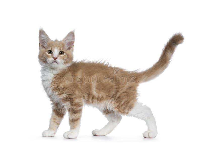 Nata bonito corajosa com o gatinho branco do gato de Maine Coon, isolado no backround branco imagem de stock royalty free