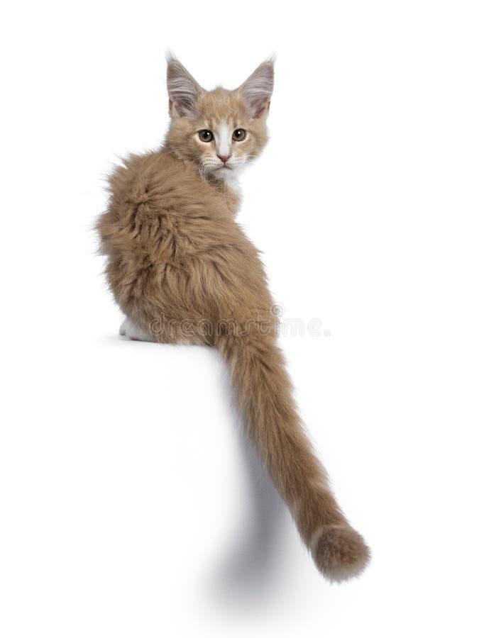 Nata bonito corajosa com o gatinho branco do gato de Maine Coon, isolado no backround branco fotografia de stock royalty free