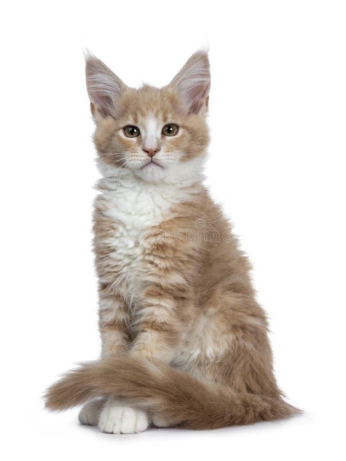 Nata bonito corajosa com o gatinho branco do gato de Maine Coon, no backround branco imagem de stock