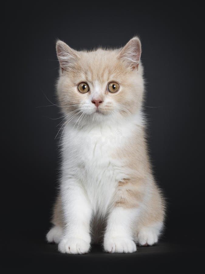 Nata con el gatito británico blanco de Shorthair en negro fotografía de archivo libre de regalías