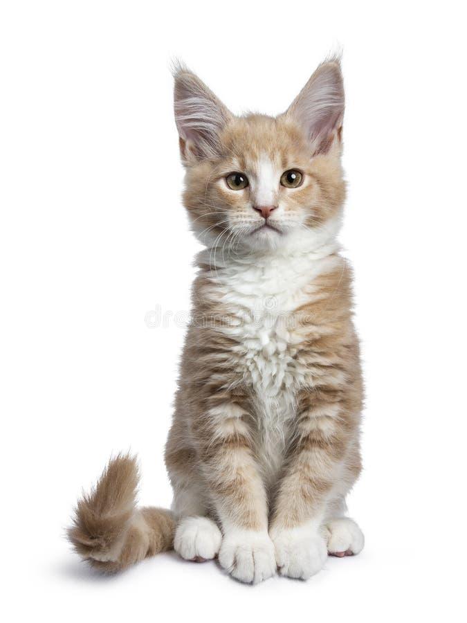 Nata linda intrépida con el gatito blanco del gato de Maine Coon, aislado en el backround blanco fotografía de archivo libre de regalías