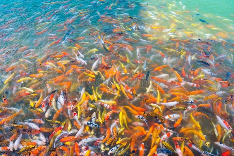 Nata??o bonita dos peixes do koi da carpa na lagoa no jardim fotografia de stock royalty free