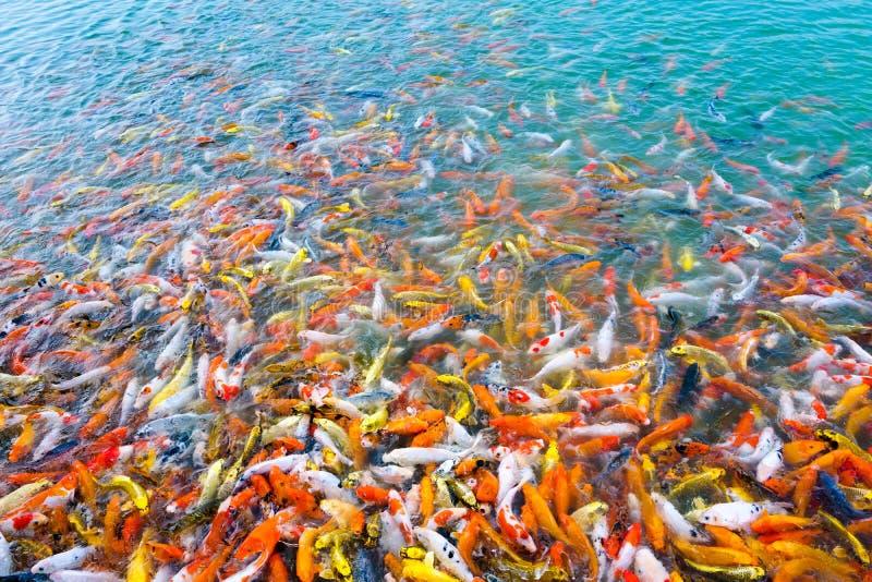 Nata??o bonita dos peixes do koi da carpa na lagoa no jardim fotos de stock