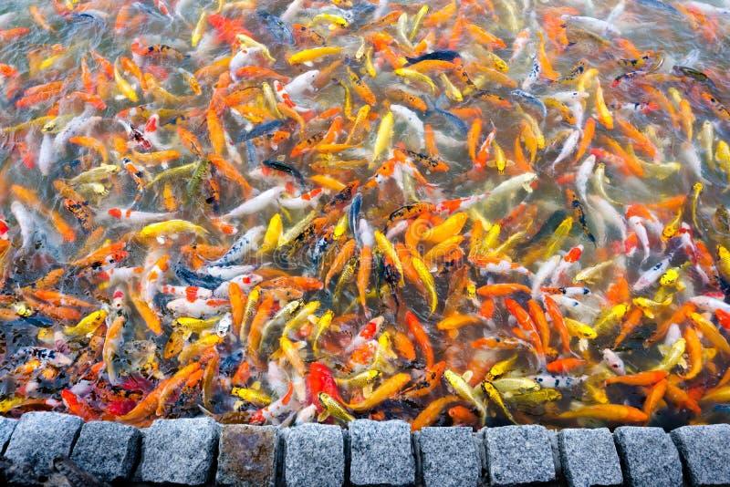 Nata??o bonita dos peixes do koi da carpa na lagoa no jardim imagens de stock