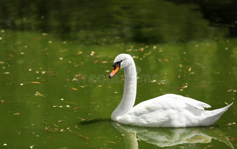 Nata??o branca bonita da cisne na lagoa imagem de stock