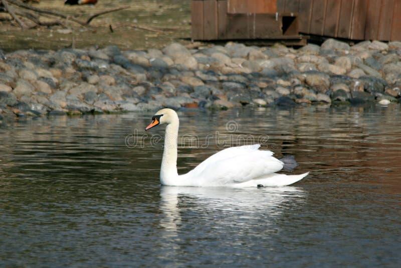 Nata??o branca da cisne na lagoa fotografia de stock royalty free