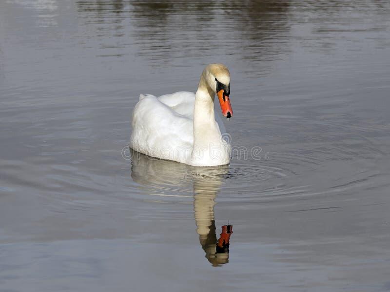Nata??o branca da cisne no lago imagem de stock