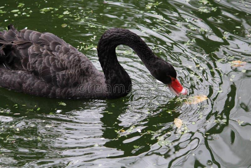 Nata??o da cisne preta na lagoa fotografia de stock royalty free