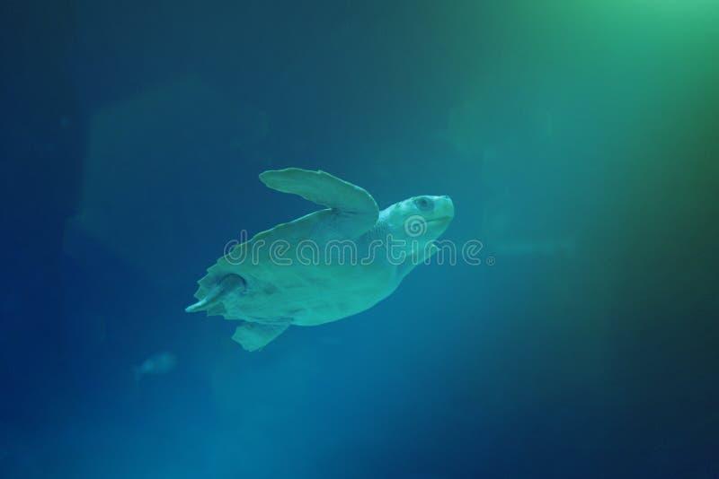 Nata??o da tartaruga de mar no oceano imagem de stock