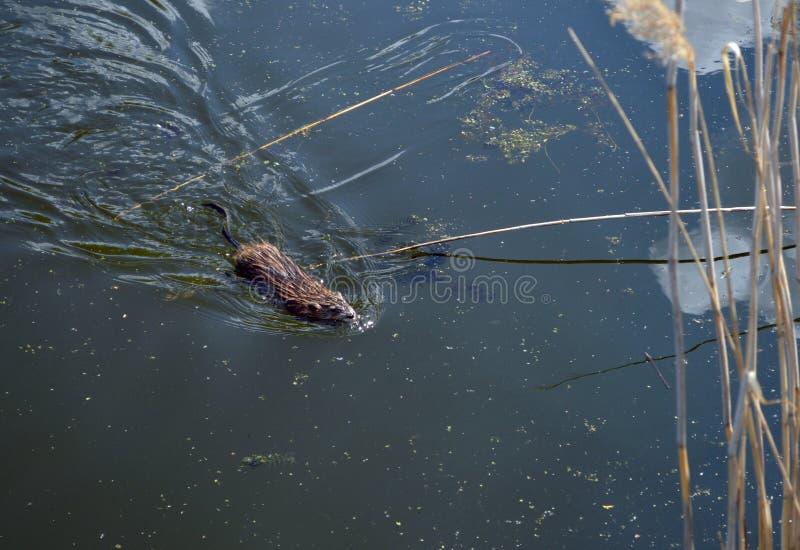 Nata??o do Muskrat em um lago foto de stock