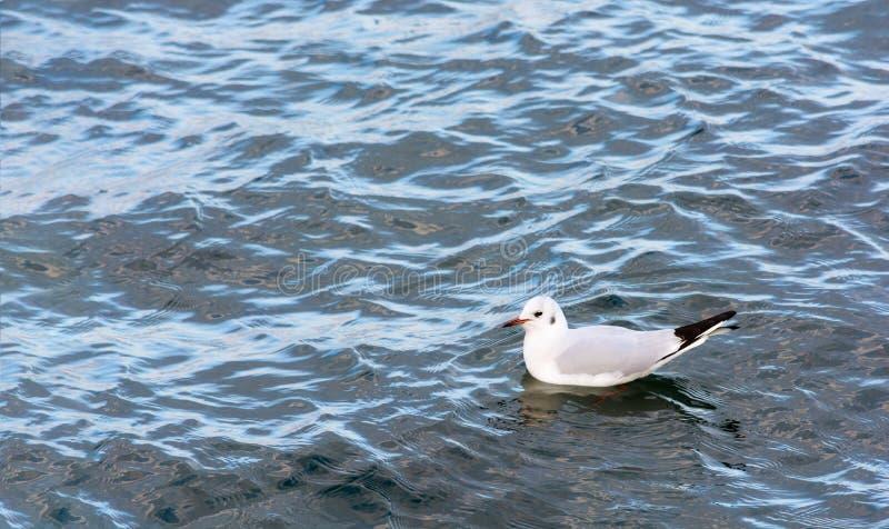 Natación blanca de la gaviota en el mar P?jaro de mar Colores brillantes fotografía de archivo libre de regalías