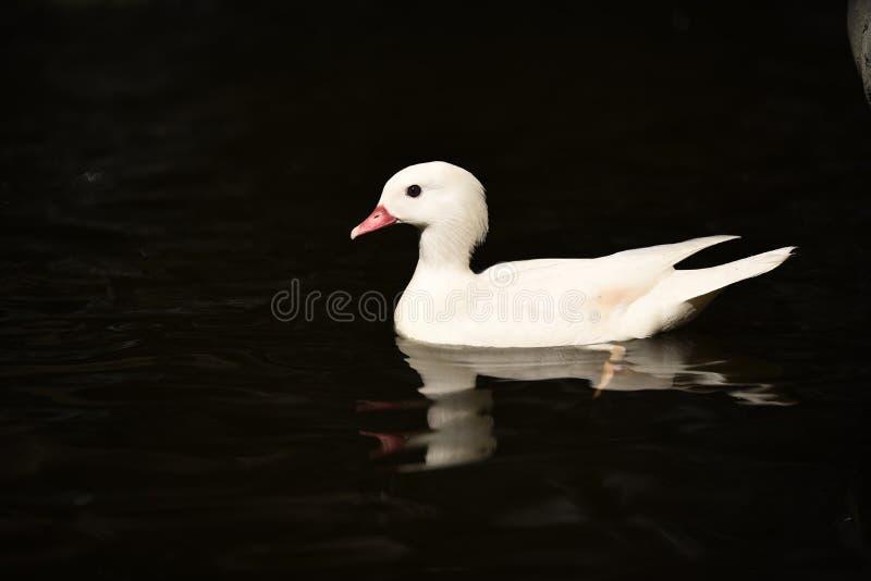 Natación blanca de los patos imagenes de archivo