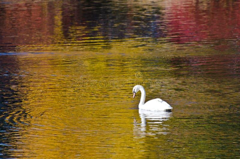 Natación blanca del cisne en una charca de oro imagenes de archivo