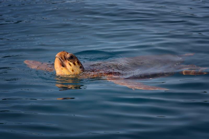 Natación colorida del caretta del caretta de la tortuga de mar en el mar azul en la isla de Zakynthos, Grecia Fondo fresco azul,  imágenes de archivo libres de regalías