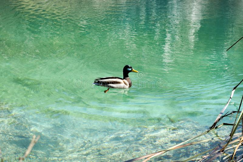 Natación colorida del pato en los lagos Plitvice en Croacia foto de archivo