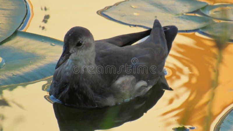 Natación común del chloropus del Gallinula de la polla de agua de los jóvenes en un lago imagen de archivo