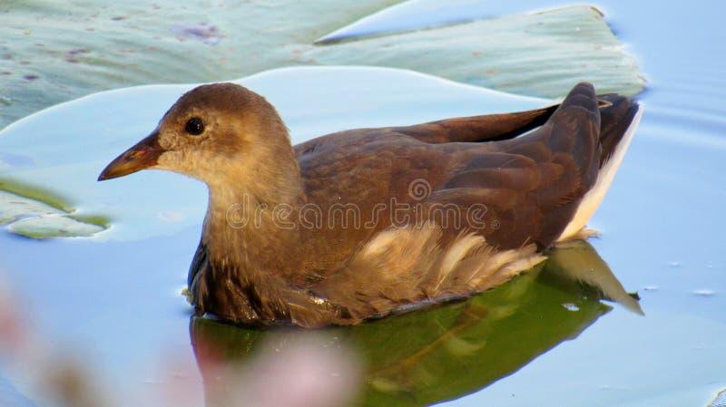 Natación común del chloropus del Gallinula de la polla de agua de los jóvenes en un lago fotografía de archivo libre de regalías