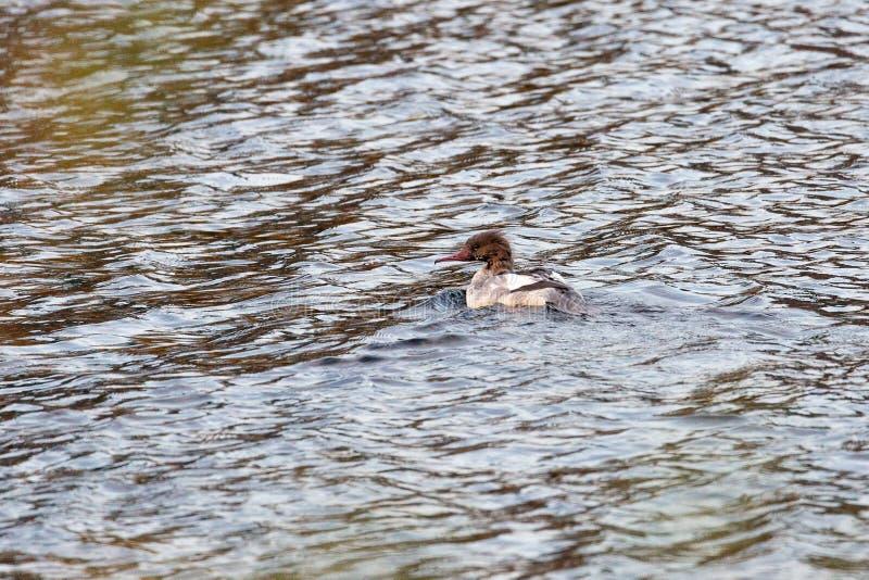 Natación común del pollo de agua de la hembra en agua fotografía de archivo libre de regalías