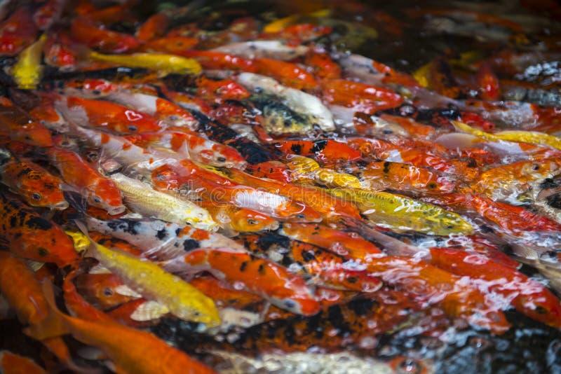 Natación de Koi Carps Fish Japanese fotos de archivo libres de regalías