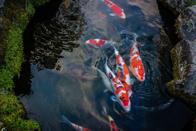 Natación de Koi Carps Fishs Japanese en la piscina imagen de archivo