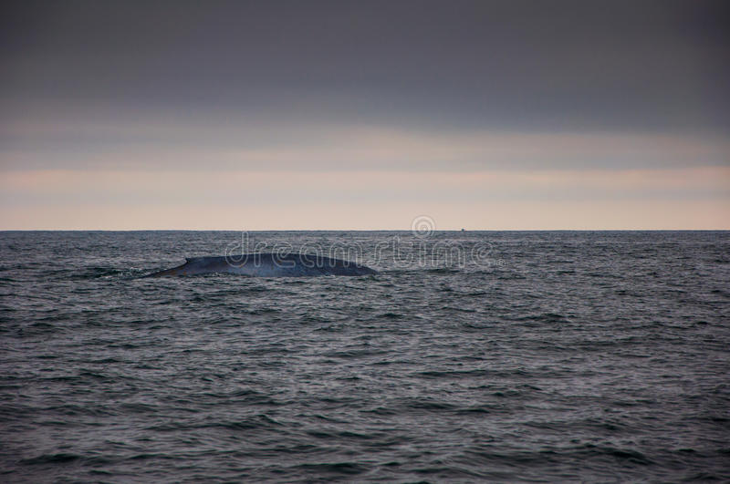 Natación de la ballena azul fotos de archivo libres de regalías