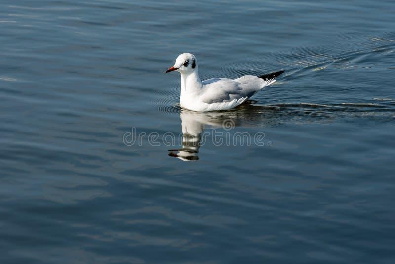 Natación de la gaviota en el mar con la reflexión imagen de archivo libre de regalías