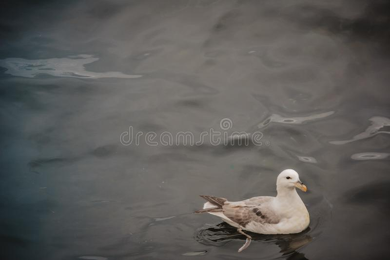 Natación de la gaviota en el mar en un día cubierto del verano, un pájaro imagenes de archivo