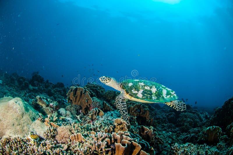 Natación de la tortuga de Hawksbill alrededor de los arrecifes de coral en Gili, Lombok, Nusa Tenggara Barat, foto subacuática de foto de archivo