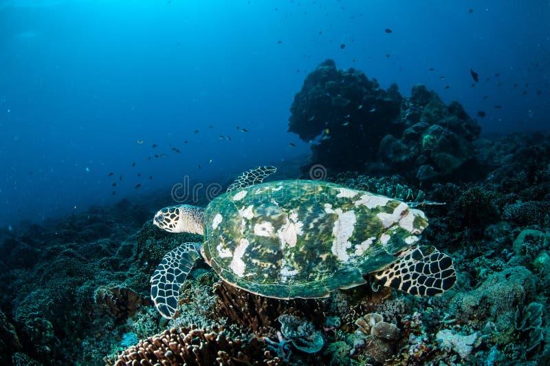 Natación de la tortuga de Hawksbill alrededor de los arrecifes de coral en Gili, Lombok, Nusa Tenggara Barat, foto subacuática de imagen de archivo