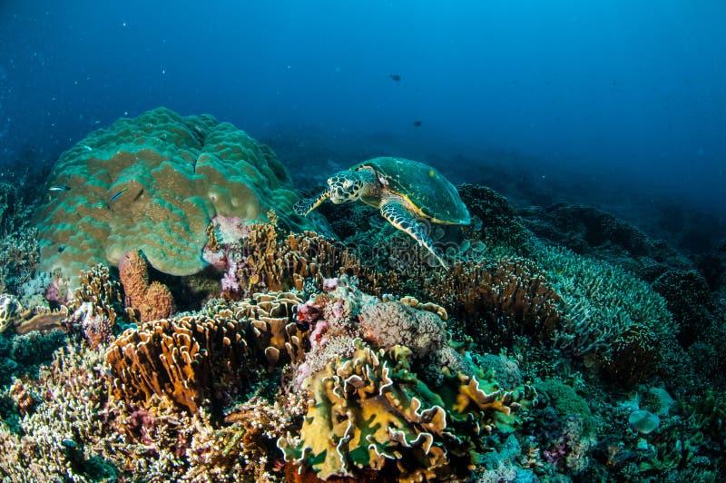 Natación de la tortuga de Hawksbill alrededor de los arrecifes de coral en Gili, Lombok, Nusa Tenggara Barat, foto subacuática de fotos de archivo libres de regalías