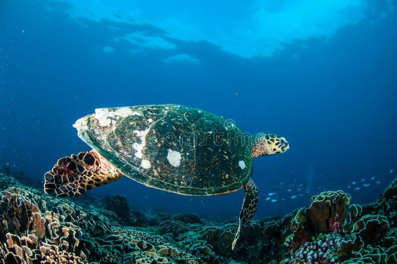 Natación de la tortuga de Hawksbill alrededor de los arrecifes de coral en Gili, Lombok, Nusa Tenggara Barat, foto subacuática de imagenes de archivo