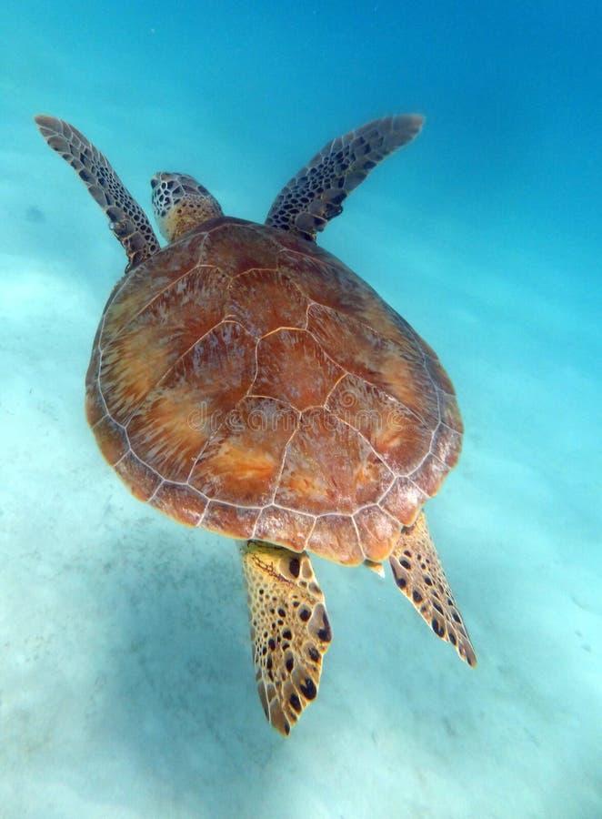Natación de la tortuga verde imagenes de archivo