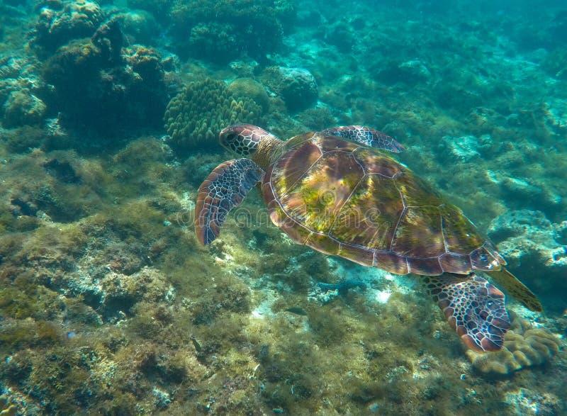 Natación de la tortuga verde en el mar El bucear con la tortuga foto de archivo libre de regalías