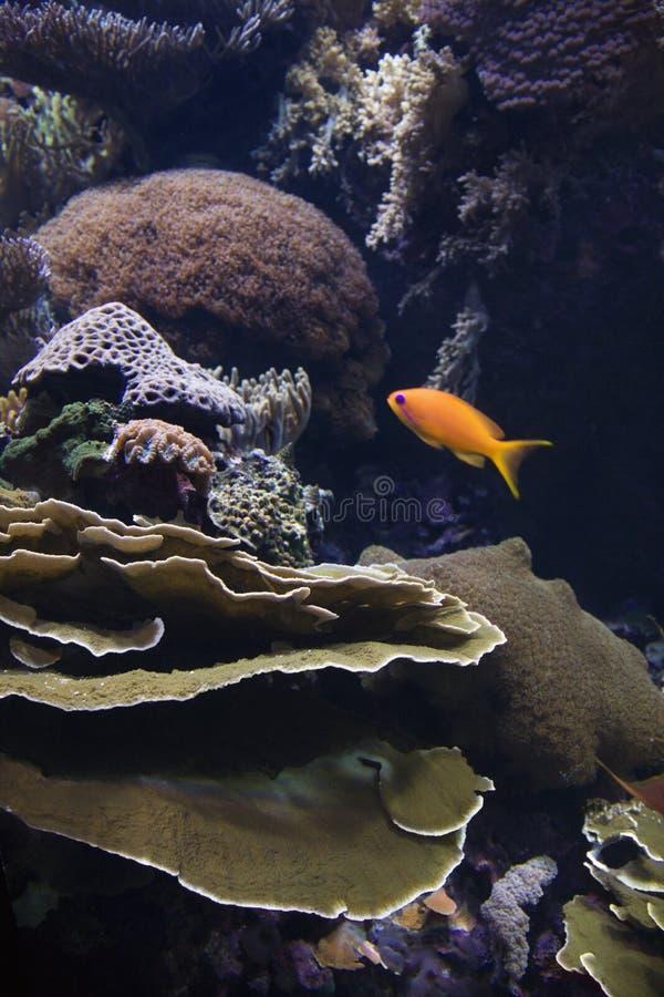 Natación de los pescados alrededor del coral. fotos de archivo libres de regalías