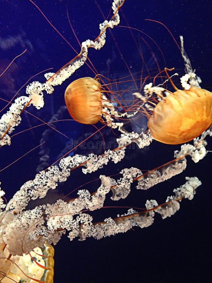 Natación de los pescados de jalea en agua azul foto de archivo libre de regalías