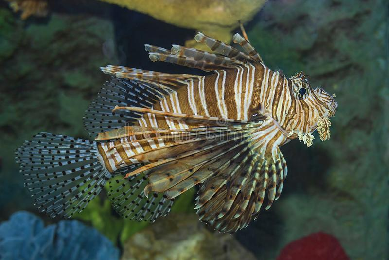 Natación de los pescados del león debajo del agua foto de archivo