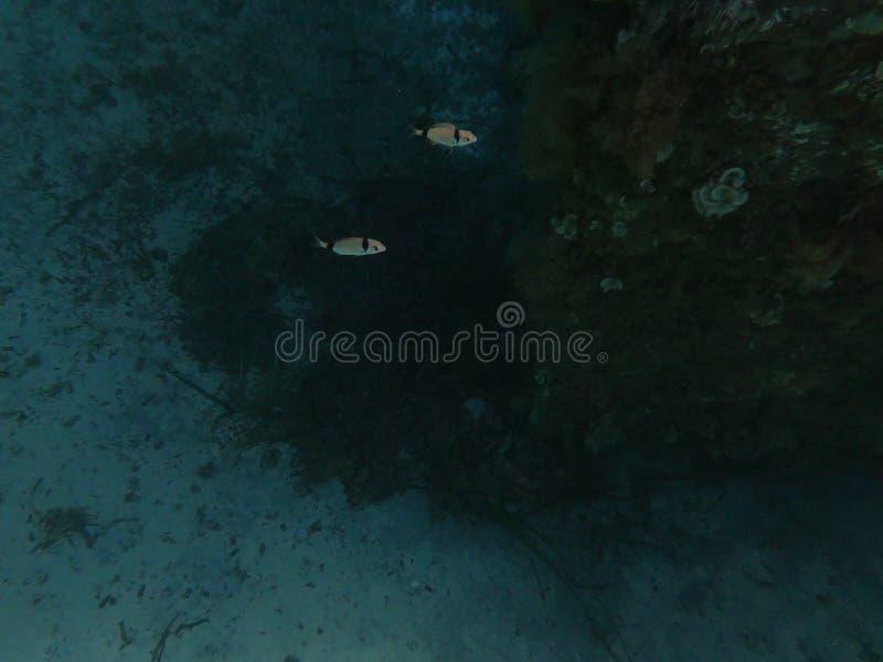 Natación de los pescados en el mar Mediterráneo de Cerdeña imágenes de archivo libres de regalías