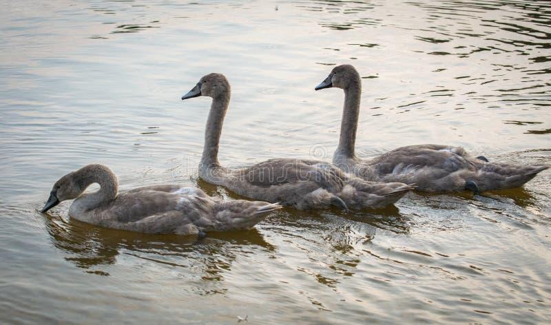 Natación de tres Grey Swans en un lago Tres pollos del cisne agraciados que flotan en un agua fotos de archivo libres de regalías