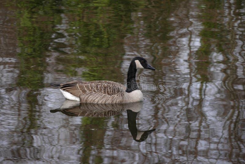 Natación del canadensis del ganso/del Branta de Canadá en el lago en Alemania en primavera fotos de archivo libres de regalías