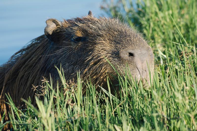 Natación del Capybara en el agua fotos de archivo libres de regalías